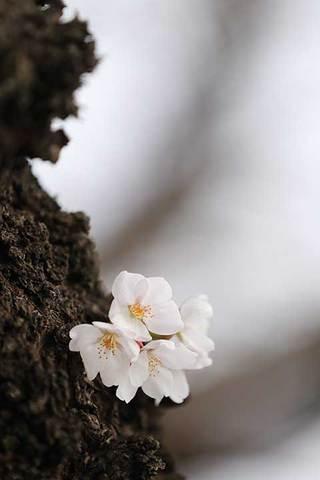 180318桜開花a.jpg