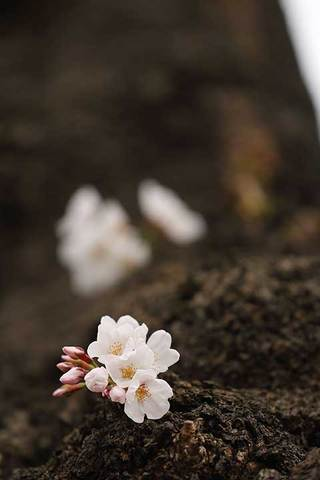 180318桜開花b.jpg