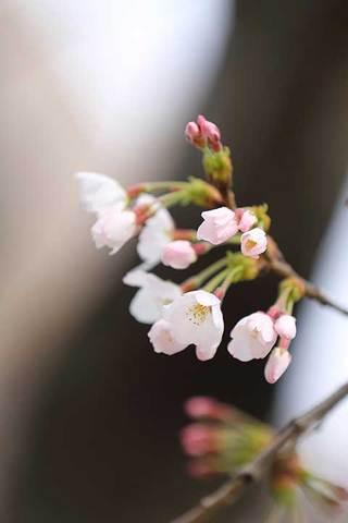 180318桜開花c.jpg
