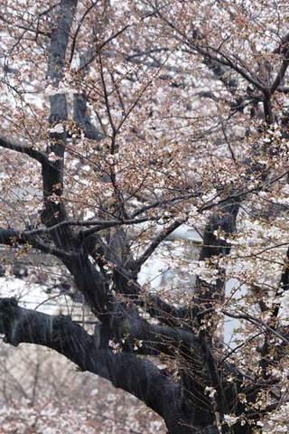 180322桜に雪a.jpg