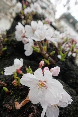 180326桜満開a.jpg