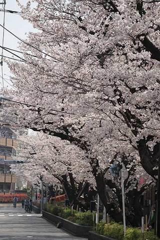 180326桜満開b.jpg