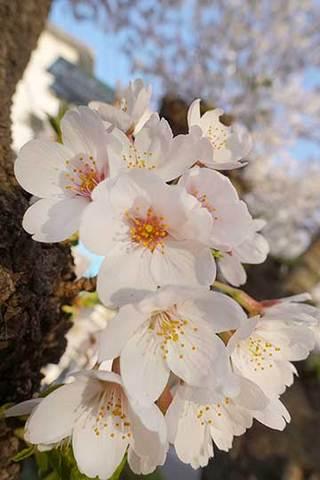 180328桜満開.jpg