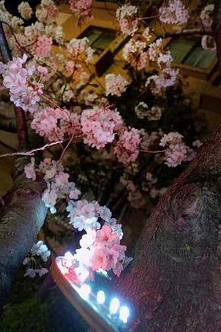 180330ねがたの桜みちa.jpg