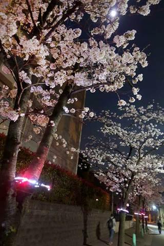 180330ねがたの桜みちb.jpg