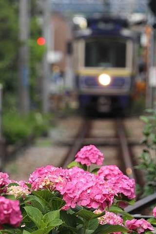 190614江ノ電と紫陽花b.jpg